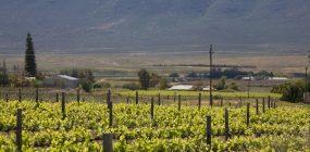 Stellar Organics Weinberge in Südafrika Bioweinanbau