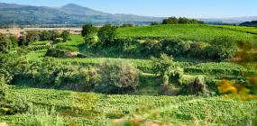 Ein Bild von Weinbergen des Weingute von der Mark, die nach biologischen Grundsätzen bewirtschaftet werden.