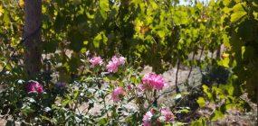 Ein Blick in die Weinberge des Weingutes Lazanou mit Rosen im Vordergrund