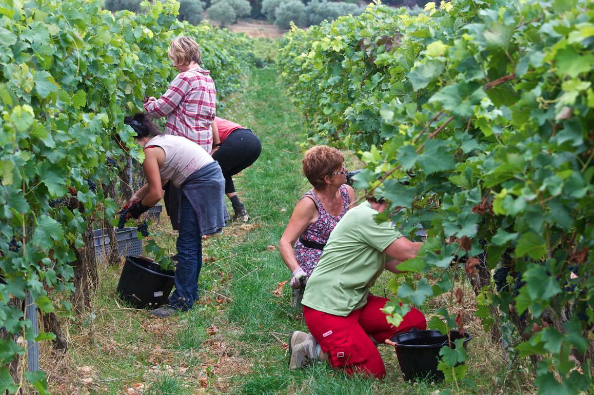 Weinbau-ein Jahr im Weinberg Teil 4 – die Weinlese