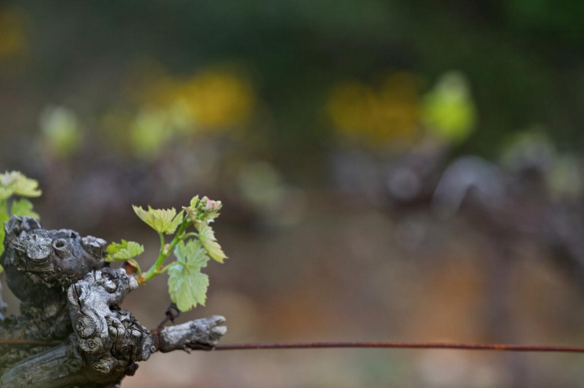 Weinbau-ein Jahr im Weinberg -Teil 3 Pflanzenschutz