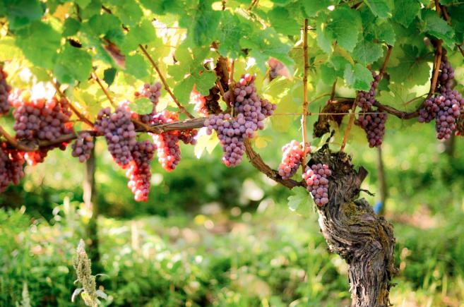 Unsere Winzer – Weingut Pix Kaiserstuhl