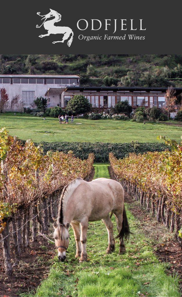 Fjord Pony zwischen Weinreben